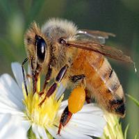 La abeja Melipona