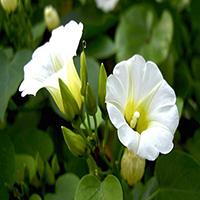 Coaxihuitl, la flor de Xochipilli.