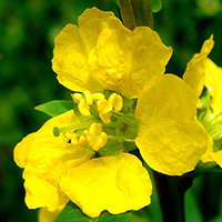 Sinicuichi, la flor de Xochipilli.